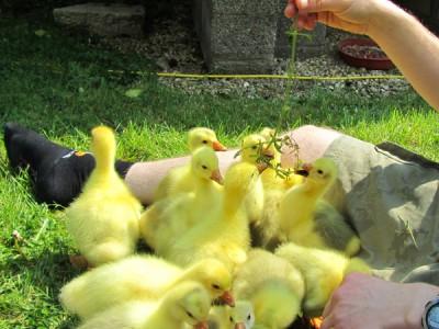 Goslings - 2011